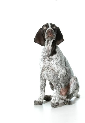 german shorthaired pointer puppy looking up isolated on white background