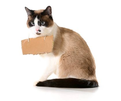 cat communication - ragdoll cat wearing a cardboard sign isolated on white background