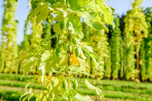 Hop Cones ready to harvesting