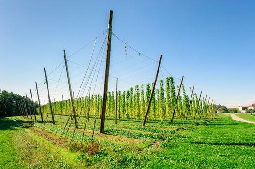 Hop plantation in Upper Austria