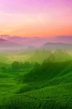 Tea farmland