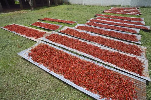 Many red chilli peppers drying in the sun,Thailand