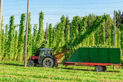 Harvesting Hop with a Truck