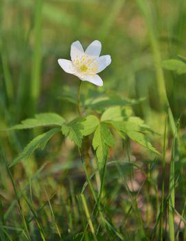 Spring flower wood anemone (anemone nemorosa)