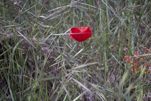 Red poppy on green weeds field with orange flowers