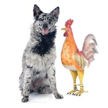 Hungarian dog and rooster