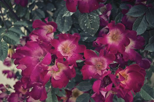 White heart roses on deep green bush