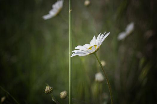 Daisies macro: bellis perennis group on brown ground