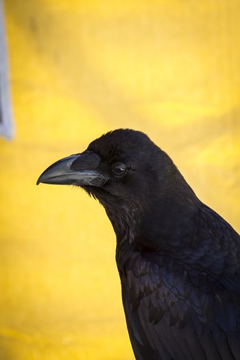 Looking black crow in a sample of birds of prey, medieval fair