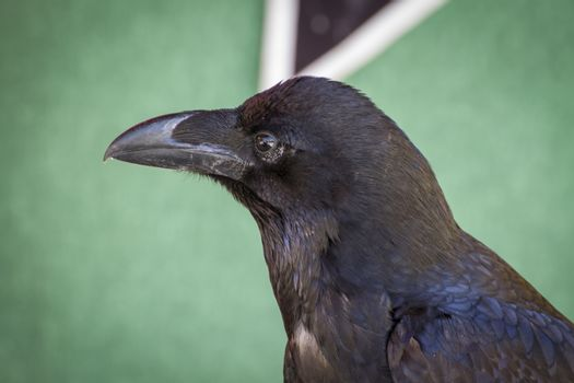 black crow in a sample of birds of prey, medieval fair