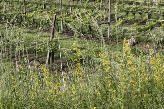 Green weeds background in Italian countryside