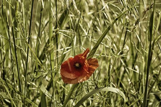 Red poppy on green weeds field