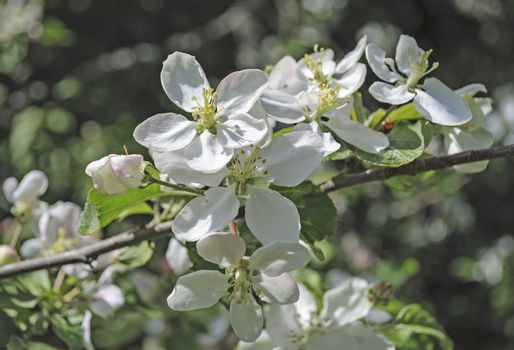 Blooming wild apple tree in forest, spring time