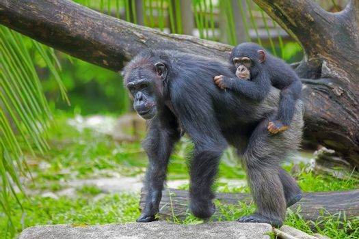 Common Chimpanzee with her child in the wild