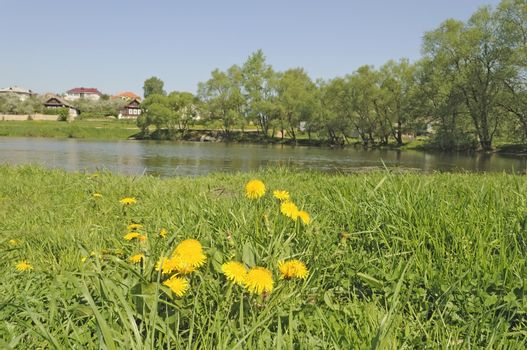 Flowering dandelions among green grass by a pond