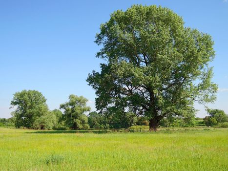 large tree in a field summer day