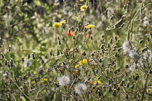 Dandelion flowers on green weeds background in Italian countryside