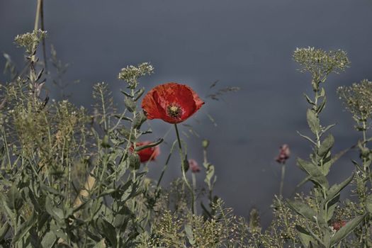 Red poppies and green weeds on channel to the Adriatic Sea