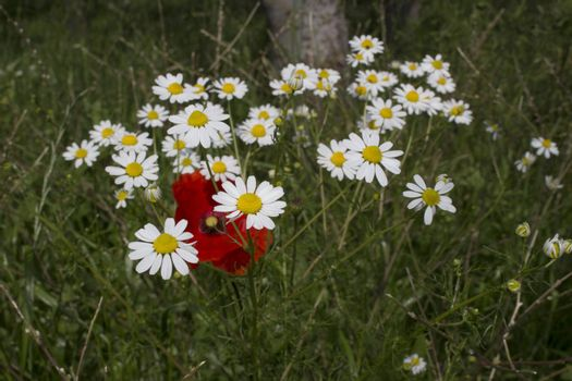 Red poppies and yellow and white daisies
