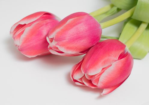 three tulips on a white background, isolated object