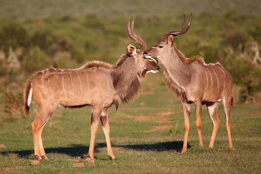 Kudu Antelope Meeting