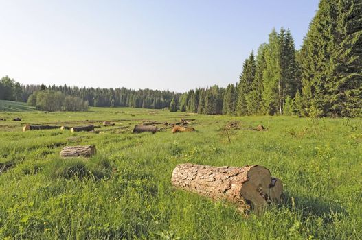 Deforested area in coniferous forest with sawn trees, Russia