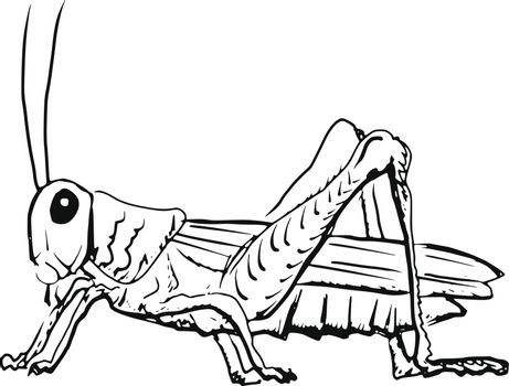 hand drawn, sketch, cartoon illustration of grasshopper