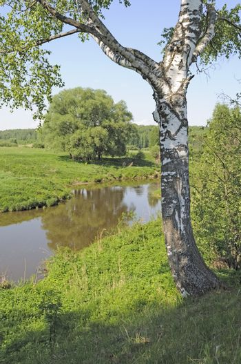 Birch tree on the steep bank of Koloksha river in spring time, Russia