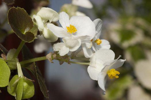White Mini Begonia on the terrace garden