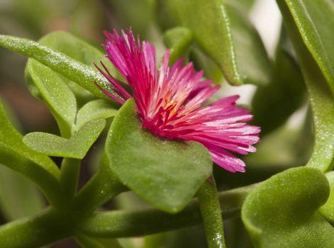 Winter purslane as ornamental plant on terrace