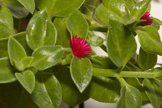 Winter purslane as ornamental plant on terrace garden
