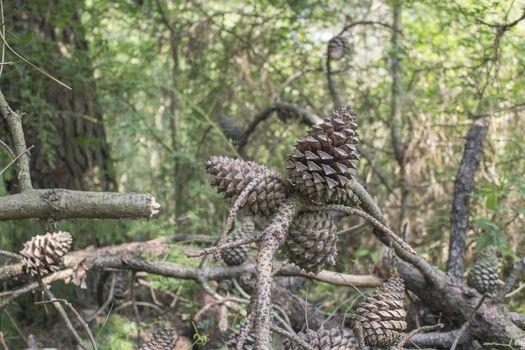 Pine cones in the pinewood forest along the Pialassa della Baiona brackish lagoon near Marina Romea on the  Adriatic seaside in Ravenna (Italy)