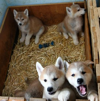 Puppies of Japanese dog Akita Inu,Belgrade,Serbia