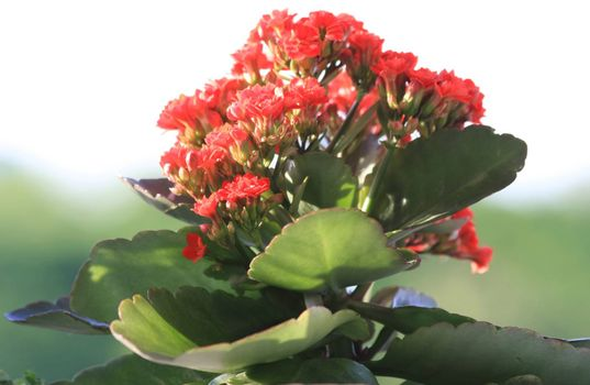Red Kalanchoe in the public garden
