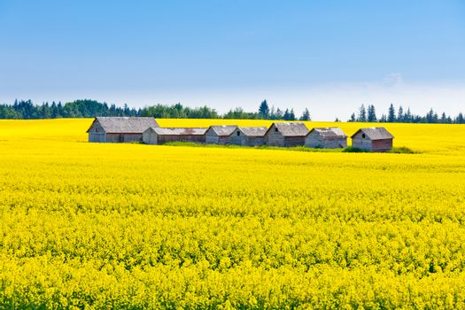 Old obsolete farm huts row lined up in field of bright yellow canola rapeseed with neutral sky in Alberta  Canada