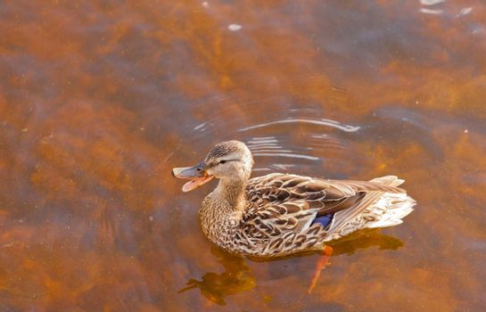 Mallard, Anas platyrhynchos, swimming in shallow water, high angle close up view with duck quacking bill wide open