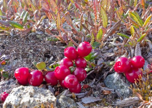 Ripe red low-bush cranberries, lingonberry, or partridgeberry, Vaccinium vitis-idaea, on dwarfed plants in alpine tundra