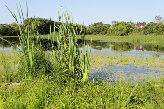 Lake overgrown with green duckweed, summer time