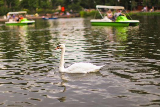 White swan at lake