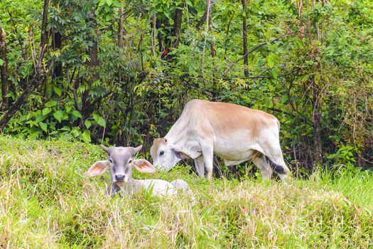 Young Brahma Bulls