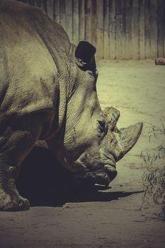 zoo, White rhino (Ceratotherium simum)