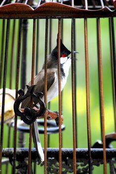 Nok Krong Hua Juck Bird of South East Asia