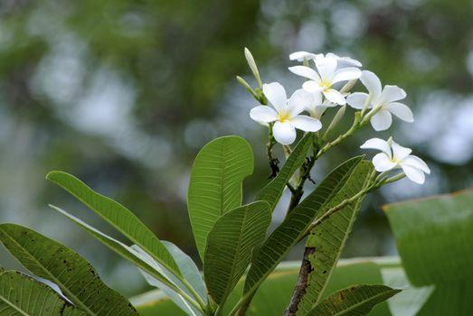 Frangipani or Plumeria Beautiful Flower in Thailand