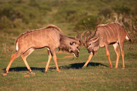 Kudu Antelope Battle