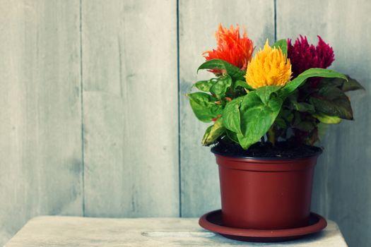 Retro photo flower Celosia in flowerpot