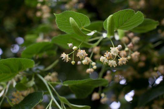 Blooming linden, lime tree in bloom