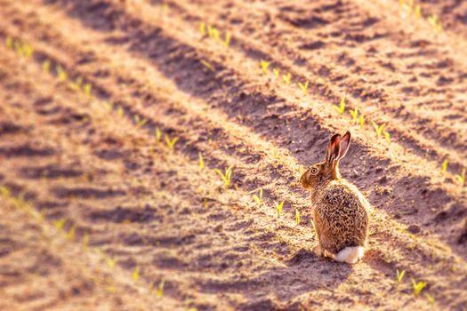 Cute little hare in a kitchen garden