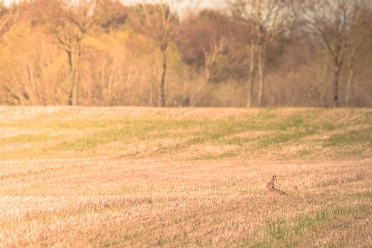 Hare sitting on a field at easter