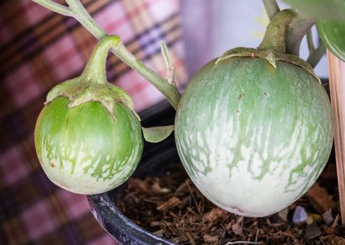 The Thai eggplant also known as Kermit eggplant, is a variety of eggplant used primarily in Thai cuisine.