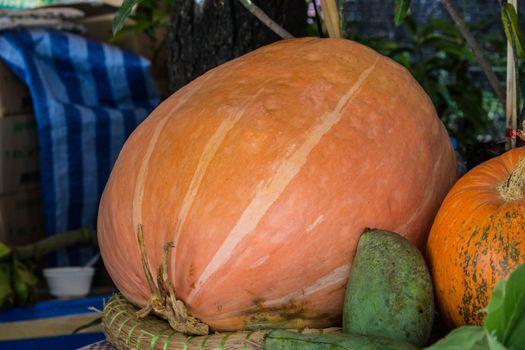 Gigantic pumpkin